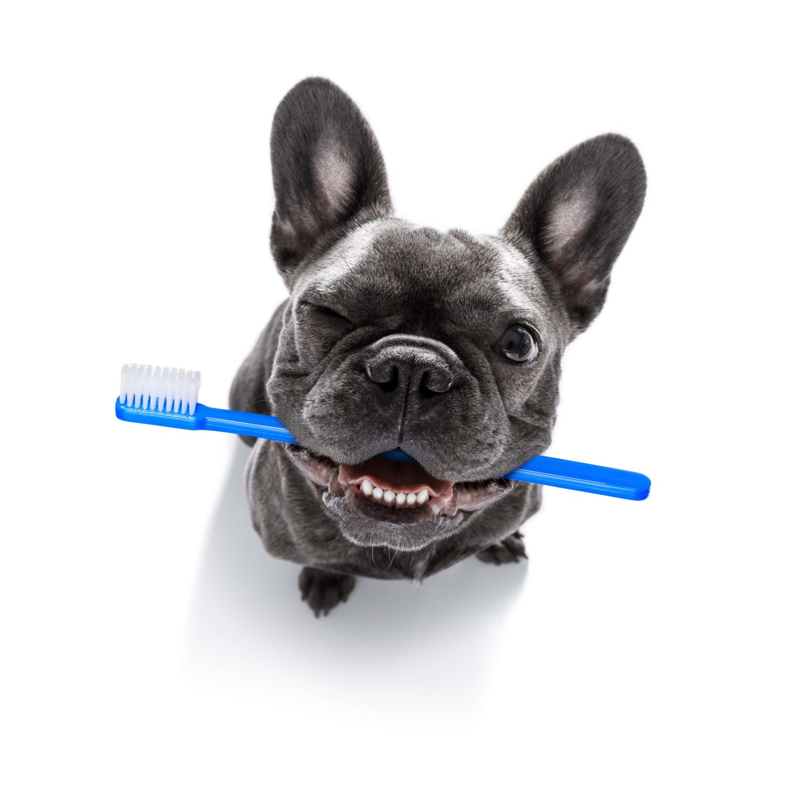 french bulldog with toothbrush in his mouth